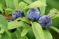 Blackthorn, berries, North, Rhine-Westphalia, Germany, Prunus, spinosa