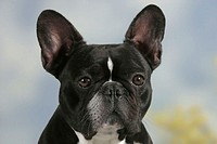 French, Bulldog,