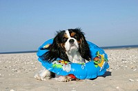 Cavalier, King, Charles, Spaniel,, tricolor,, with, swimming, belt, at, beach,
