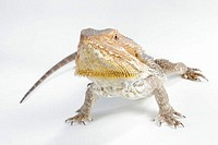 Bearded, Dragon, blood-red, Amphibolorus, vitticeps, Pogona, barbatus