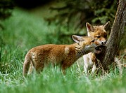 Red, Foxes, playing, cubs, Vulpes, vulpes, side