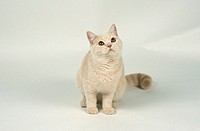 British, Shorthair, Cat,, cream