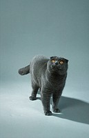 Scottish, Fold,, tomcat,, blue