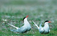 Arctic, Terns, pair, courting, Norway,, Sterna, paradisaea