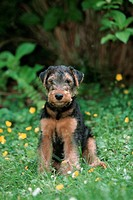 Welsh, Terrier,, puppy,, 9, weeks