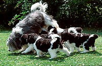 Polish, Lowland, Sheepdog, with, puppies,, 8, weeks,, PON,, Polski, Owczarek, Nizinny