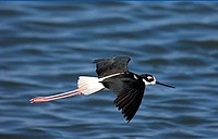 A Black-Necked Stilt (Himantopus mexicanus) in flight over water