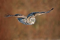 A great gray owl (Strix nebulosa) in flight. At 27 inches long and with a wingspan of 52 inches, this is America´s largest owl.