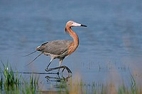 A reddish egret (Egretta rufescens) in southern Florida. This species has two color morphs: reddish, as pictured, and white.