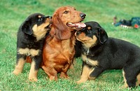 Longhaired, Dachshund, and, Rottweiler, puppies