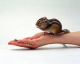 Siberian, Chipmunk, on, hand, Eutamias, sibiricus