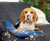 Beagle, has, destroyed, pillow