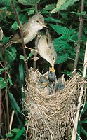 Marsh, Warbler,, pair, feeding, chicks, at, nest,, Lower, Saxony,, Germany,, Acrocephalus, palustris