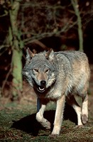 Wolf,, Canis, lupus