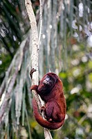 Red Howler Monkey eating clay (Alouatta seniculus).