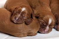 Cavalier, King, Charles, Spaniel,, puppies,, 5, days