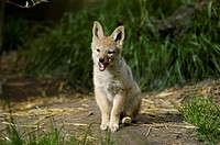 Young, Black-backed, Jackal, Canis, mesomelas