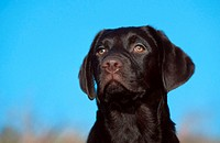 Labrador, Retriever,, puppy,, 4, month,, chocolate