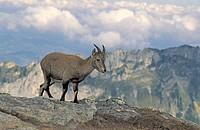 Ibex Capra ibex ibex Berner Oberland Switzerland Europe