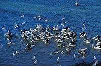 Australian Pelican Pelecanus conspicillatus Kangaroo Island Australia