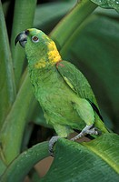Yellow naped Amazon Amazona auropalliata South America
