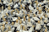 Cape Gannet Morus capensis Lambert`s Bay South Africa Africa