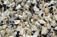 Cape Gannet Morus capensis Lambert`s Bay South Africa Africa
