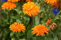Pot Marigold Calendula officinalis Germany Europe