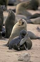 Cape Fur Seal Arctocephalus pusillus Cape Cross Namibia Africa