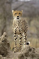 Cheetah Acinonyx jubatus Sabi Sand Game Reserve Kruger National Park South Africa Africa