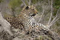 Leopard Panthera pardus Sabi Sand Game Reserve Kruger Nationalpark South Africa Africa