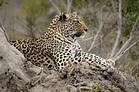 Leopard Panthera pardus Sabi Sand Game Reserve Kruger Nationalpark South Africa Africa