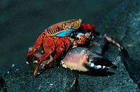 Rock, Crab, eating, crab, Sombrero, Chino, Galapagos, Islands, Ecuador, Grapsus, grapsus