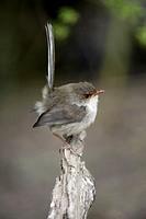 Superb Fairy Wren Malurus cyaneus Australia