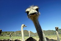 South African Ostrich Struthio camelus australis Karoo South Africa Africa