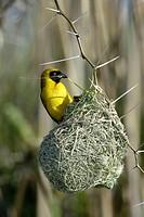 Masked Weaver Ploceus velatus Karro South Africa Africa