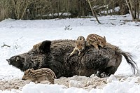 Wild, Boars, sow, with, piglets, Sus, scrofa, pig