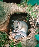 Edible, Dormice, female, with, youngs, in, nest, Glis, glis