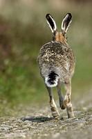 Brown, Hare,, England,, Lepus, europaeus