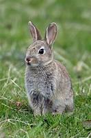 European, Rabbit,, England,, Oryctolagus, cuniculus