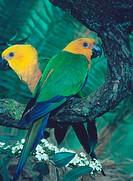 Yellow-headed, Conures, Aratinga, auricapilla, jandaya