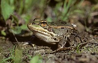 Marsh frog (Rana perezi)