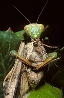 European mantis (Mantis religiosa) eating a large moth