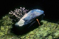 Mediterranean mussel (Mytilus galloprovincialis) with extended foot