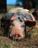 Close_up of pig lying in field