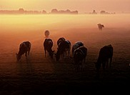 Cows in misty pasture, the Netherlands