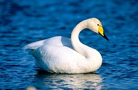 Whooper Swan (Cygnus olor). Lake Hornborga, Sweden