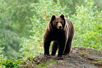 Brown Bear (Ursus arctos), Germany