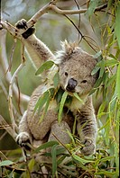 Koala (Phascolarctos cenereus) _ Eating eucalpytus leaves _ Australia _ Range is from southestern Queensland through eastern New South Wales and Victo...