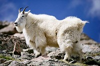 A mountain goat poses atop a rock outcrop on Mt. Evans, Colorado, USA